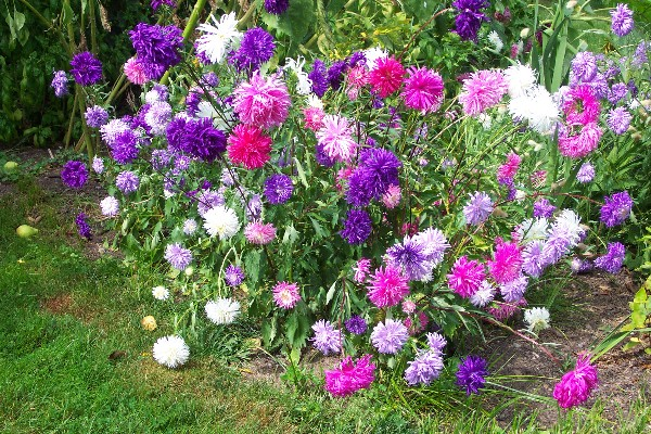 How to grow aster perennial flower plants growing asters for Easy to care for perennial flowers