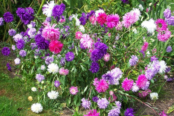 How to grow aster perennial flower plants growing asters aster seeds but like all plants they will reward your with bigger blooms and a healthier plant if you add plenty of compost mightylinksfo