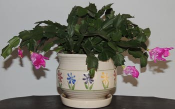Christmas, cactus, image, jpg, picture