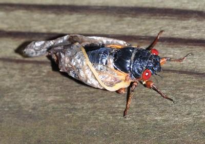 2019 2020 Cicada Pictures Cicada Images Jpegs