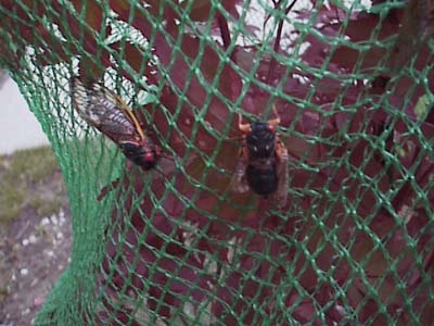 cicada, 2013, protection, control, netting, life cycle