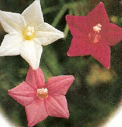How to grow and care for cypress vine star glory hummingbird flower how to grow and care for cypress vine mightylinksfo