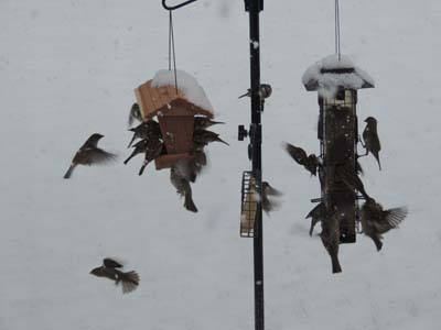 Hose sparrows at winter feeder