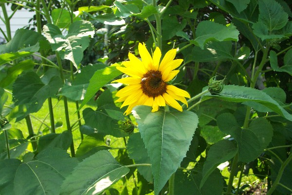 How To Grow Sunflower Plants