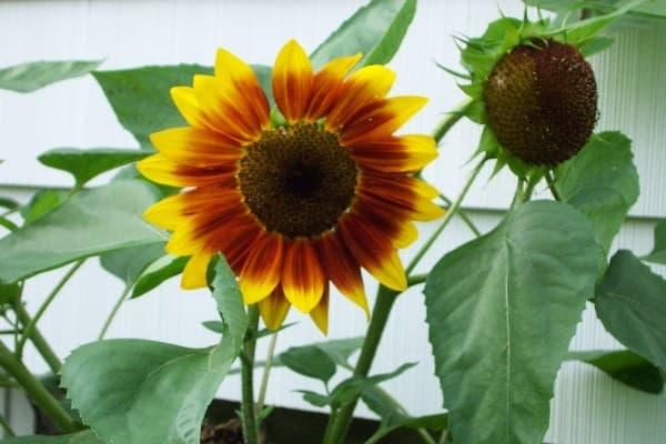 How To Grow Sunflower Plants Growing Sunflowers Seeds Sale