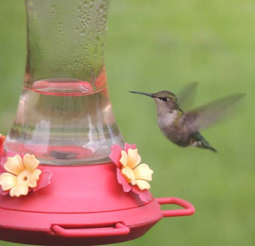 hummingbird, image,jpg, pictures,images