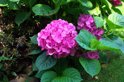 How to grow and care for hydrangea flower bush the for Easy to care for outdoor flowering plants