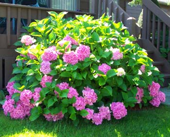 How To Grow And Care For Hydrangea Flower Bush The Gardeners Network