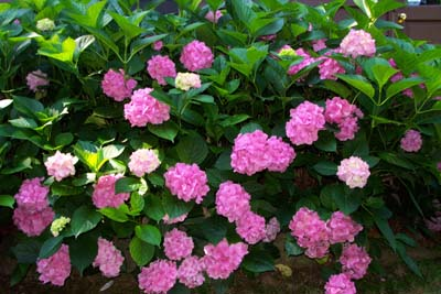 How to grow and care for hydrangea flower bush the gardeners network insects and disease mightylinksfo