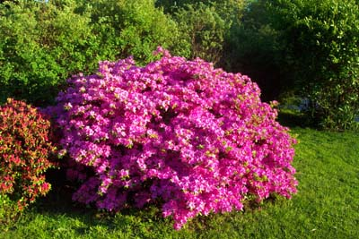 How to grow azalea azalea bush care the gardeners network how to grow and care for azalea bushes mightylinksfo