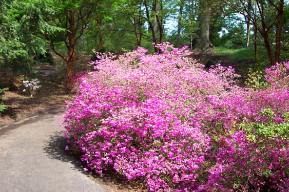 Grow Azaleas Azalea Flowering Bush