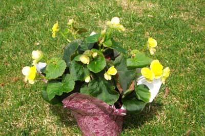 Begonia flower houseplant