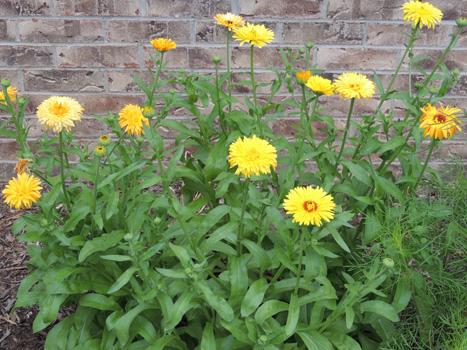 calendula flower plant, seeds, calendulas