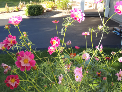 How to grow cosmos flowers growing cosmos plants seeds how to grow and care for cosmos flowers mightylinksfo