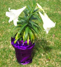 How To Grow Easter Lily Flower Growing And Caring For Easter Lilies