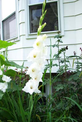 How To Grow Gladiolus Bulbs Growing Sword Lily Gardener