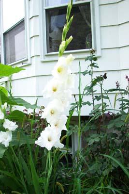 Gladiolus flower plant, glads