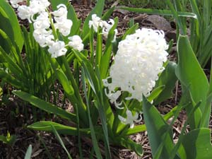 How to grow hyacinth flowering spring bulbs growing hyacinth plants how to grow hyacinth flowering bulbs mightylinksfo