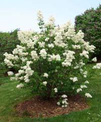 Care for a mature lilac bush