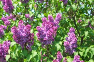 lilac, lilacs, flowers, pictures, jpgs