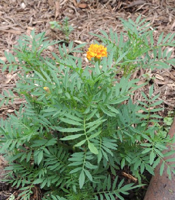 How To Grow Marigold Annual Flowers Growing French Marigold