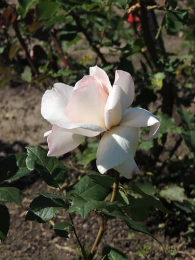 Growing Roses How To Grow And Care For Rose Bushes By The