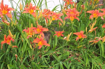 Most Of Us Refer To The Flowers In This Picture As An Orange Lily Or A Tiger But Some People Call Day Ditch