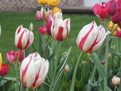 Planting tulip bulbs how to grow tulips growing tulips how to grow tulips king of the flowering bulbs mightylinksfo