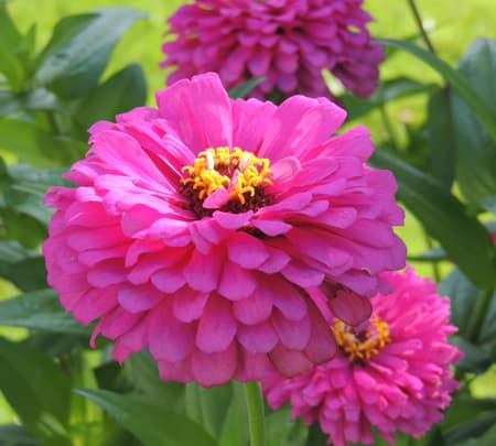 zinnia, zinnias, flower, plants, seeds