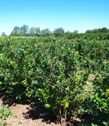 Growing Blueberry Bushes, How to Grow Blueberries, Blueberry