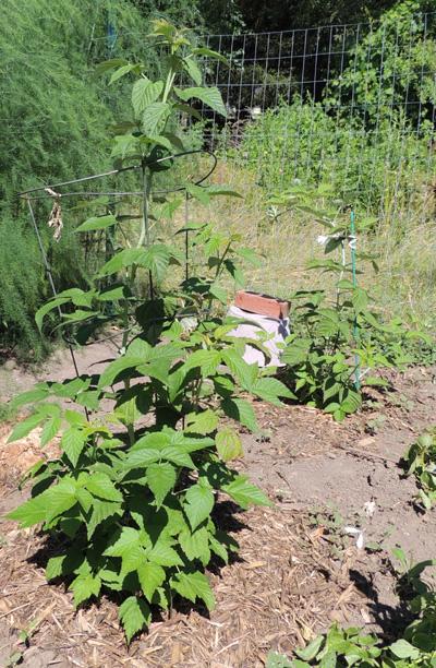 Images Of Raspberries Growing