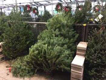 Christmas Tree Types.Types And Varieites Of Christmas Trees Fir Pine Spruce