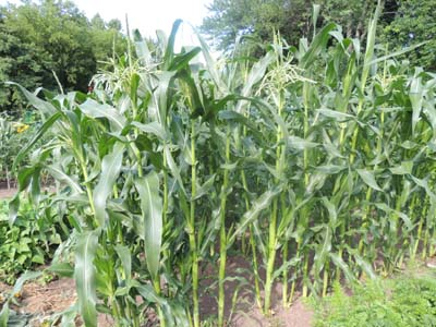 How To Grow Sweet Corn Popcorn Indian Growing Seeds For