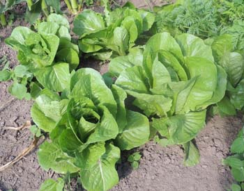 Romaine Cos Lettuce Pictures Images Jpgs